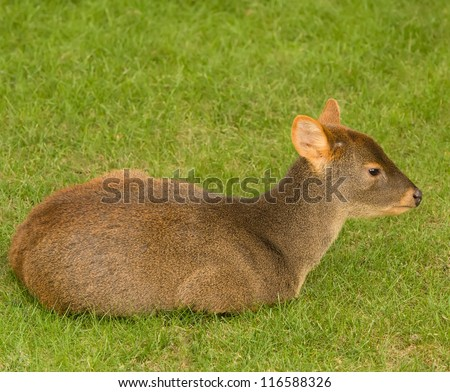 Pudu puda - Andean Miniature, Worlds smallest deer - stock photo