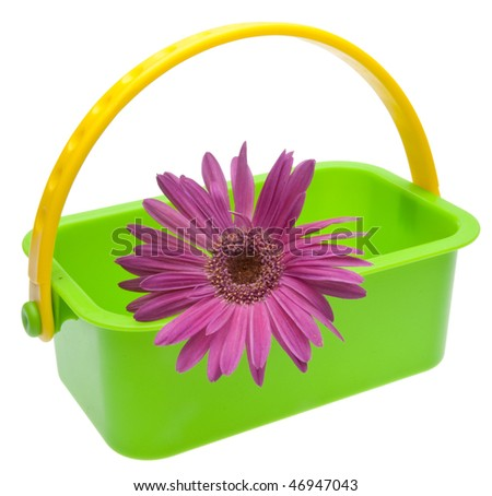 Pueple daisy in a green basket for Spring or Easter.  Isolated on white with a clipping path. - stock photo