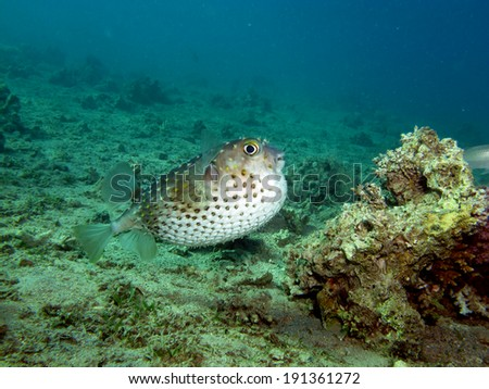 Puffed-up porcupinefish - stock photo