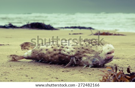 puffer fish aka toad fish washed up on a beach  - stock photo