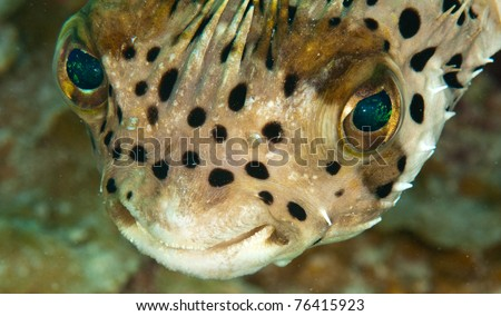 Puffer fish head shot - stock photo