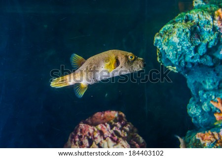 Playing cuttlefish sepia sepiida changing colors stock for Puffer fish aquarium