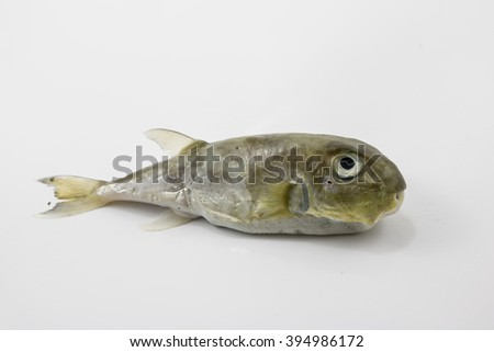 Puffer fish on a white background.