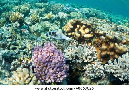 puffer fish, Porcupinefish (Diodon hystrix) in coral garden, underwater landscape. Wildlife of the ocean.