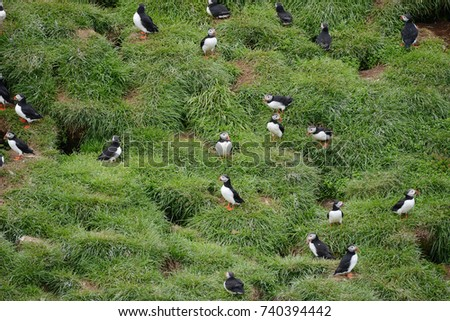 Puffin bird on grass cliff in Iceland