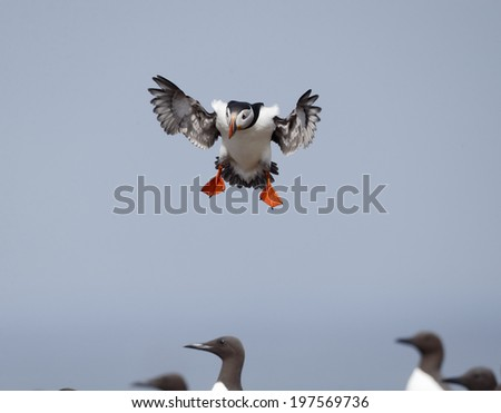 Puffin, Fratercula arctica, single bird in flight, Northumberland, May 2014