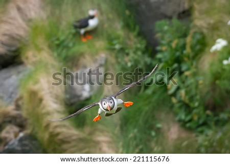 Puffin perched on rock against a blurred background of green foliage/Puffin/Puff in (fratercula), motion blur - stock photo
