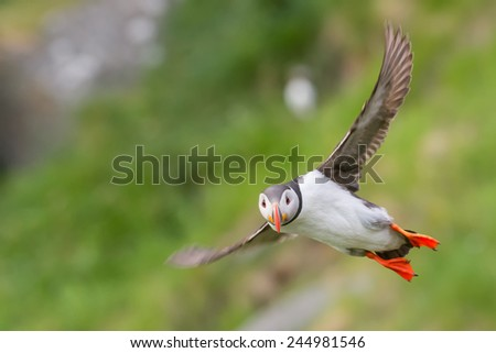 Puffin perched on rock against a blurred background of green foliage/Puffin/Puff in (fratercula), motion blur, soft focus - stock photo