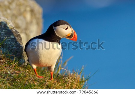 puffin standing on a grassy cliff (fratercula arctica) - stock photo