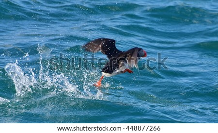 Puffin taking off from the sea in Iceland - stock photo