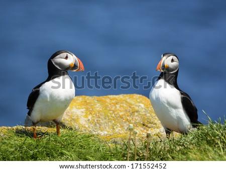 puffins flirting - stock photo