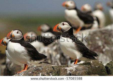 Puffins standing on the rocks - stock photo