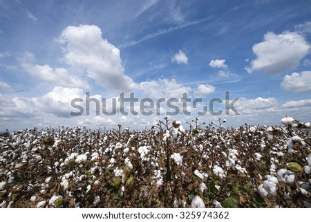 Puffy Clouds over Cotton Field