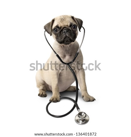 Pug dog and a stethoscope isolated on white background