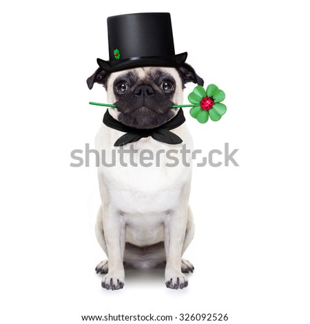 pug dog as chimney sweeper with four leaf clover  ,toasting for new years eve, isolated on white background - stock photo