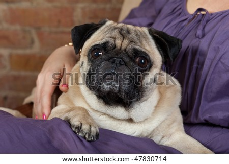 Pug dog at the woman's lap