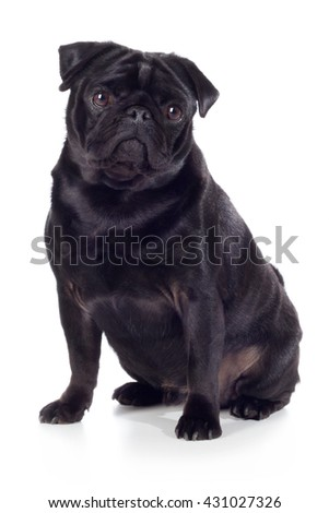 Pug dog breed dog black sits and looks sweet in camera