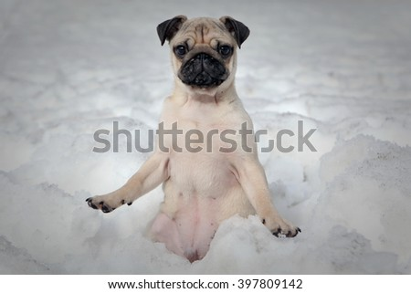 Pug dog breed sitting in the snow - stock photo