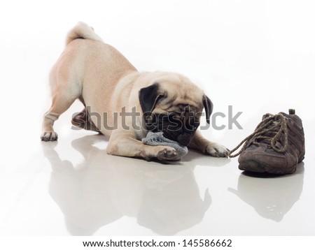 Pug dog chew socks, bad habit naughty dog   - stock photo