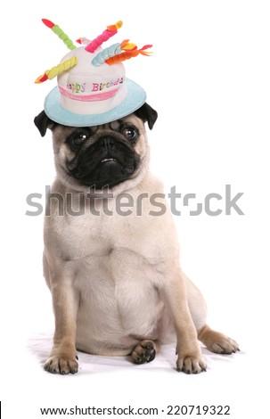 Pug Dog happy birthday - stock photo