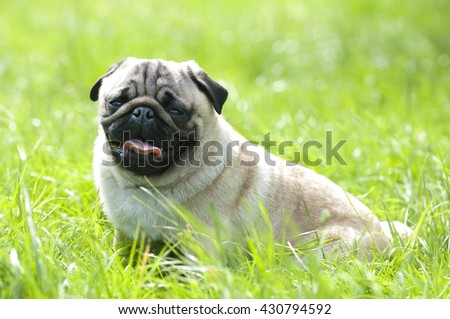 Pug dog in park on the grass