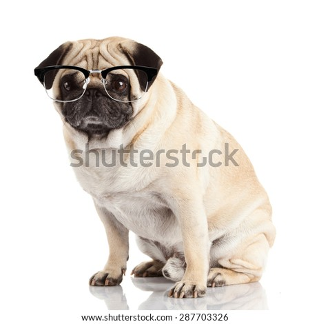 pug dog isolated on a white background. Dog with glasses - stock photo