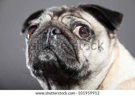 Pug dog isolated on grey background. Studio shot. - stock photo
