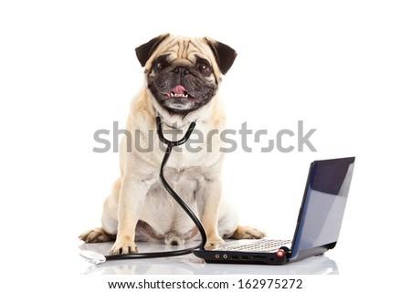 pug dog isolated on white background doctor - stock photo