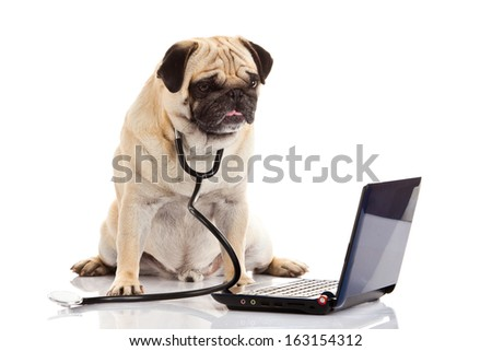 pug dog isolated on white background doctor