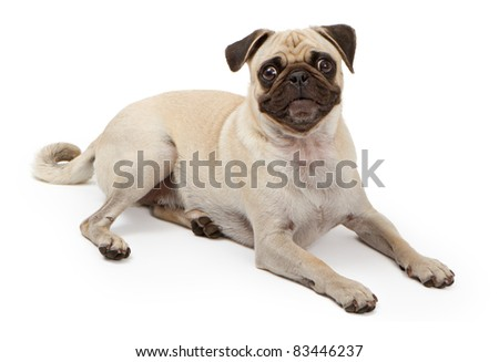 Pug dog laying down and looking at the camera isolated on a white backdrop - stock photo