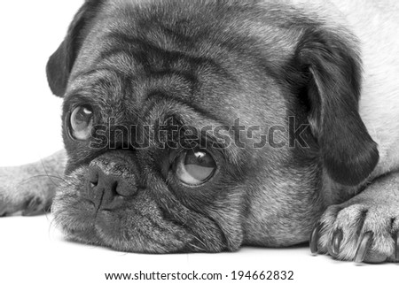 Pug Dog Looking Adorable - stock photo