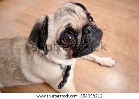 Pug dog looks upwards - stock photo