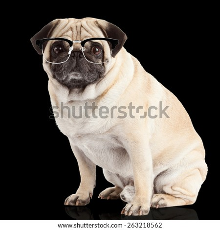 pug dog on a black  background - stock photo