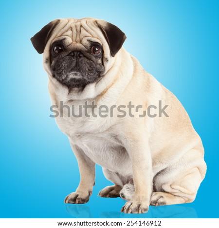 pug dog on a blue background - stock photo