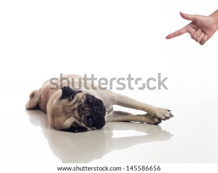 pug dog play dead, hand gesture shooting dog pretend to die  - stock photo
