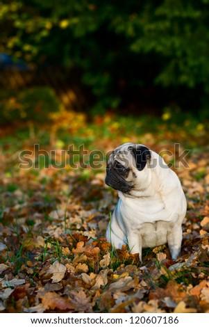 Pug dog sitting amongst autumn leaves - stock photo