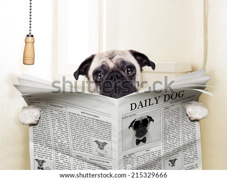 pug dog sitting on toilet and reading magazine having a break - stock photo