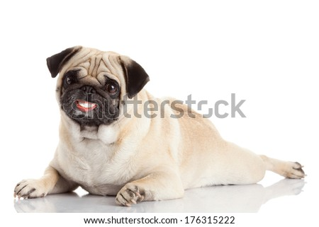 pug dog with a huge smile isolated on a white background. dog with dentures - stock photo