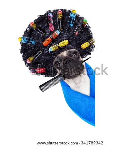 pug dog  with hair rulers  and afro curly wig  hair at the hairdresser  behind a blank empty placard or banner, isolated on white background - stock photo