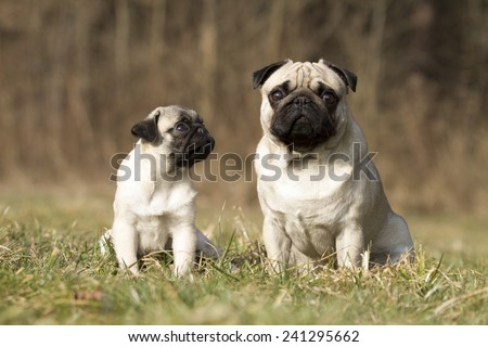 pug dogs father and his son - stock photo
