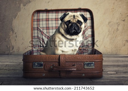 Pug in a Suitcase - stock photo
