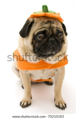 Pug in Halloween Pumpkin Costume, Isolated on White.