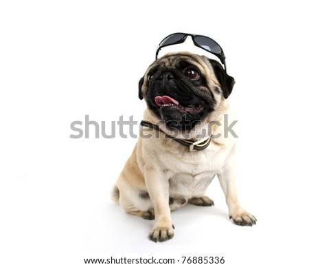 pug in sunglasses on white background - stock photo