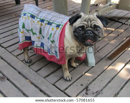 Pug is suffering from extreme heat at 37 degrees Celius on 10 July 2010 in Hannover, Germany - stock photo