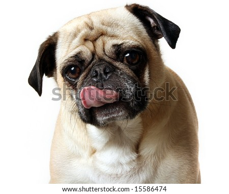 Pug licking his mouth. - stock photo
