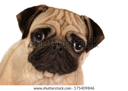 Pug looking to you isolated on a white background - stock photo