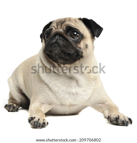 Pug lying in a white studio