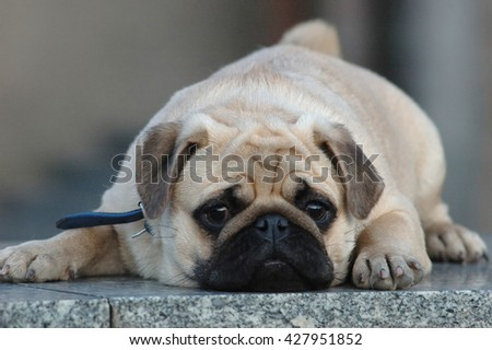 Pug portrait lying outdoor on granite and looking at camera