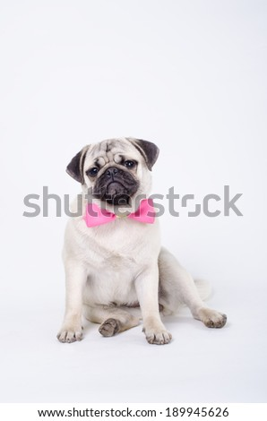 Pug posing with a bow tie. Studio shot