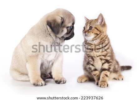 pug puppy and kitten - stock photo